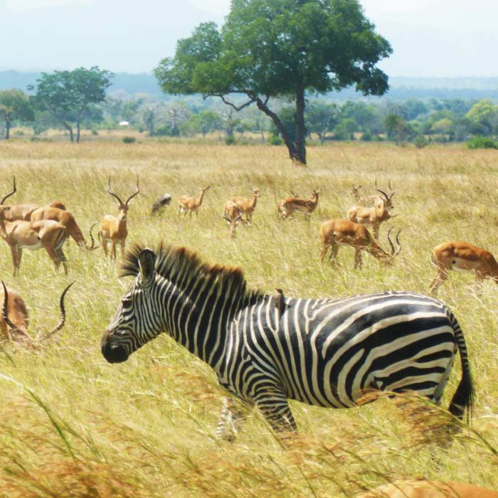 2 days tanzania safari to mikumi